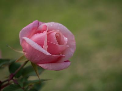 Soft wet petals