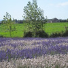 Purple Haze Farm at Sequim Lavender Festival July