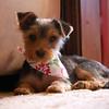 Daisy, pre-haircut (9.8.11)