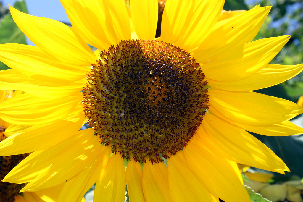 Week 26: A sunflower on campus, Friday, July 8.