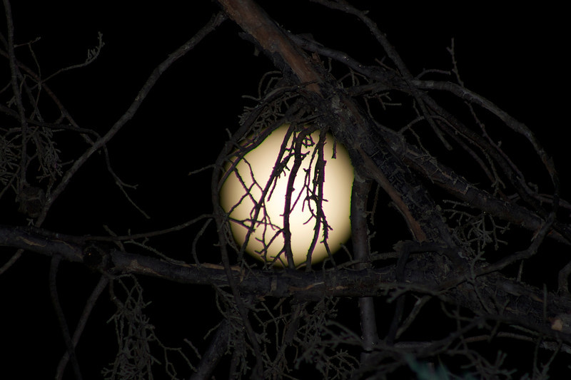Week 32: Full moon on August 13; peering through the Cuyamaca Cypress tree.