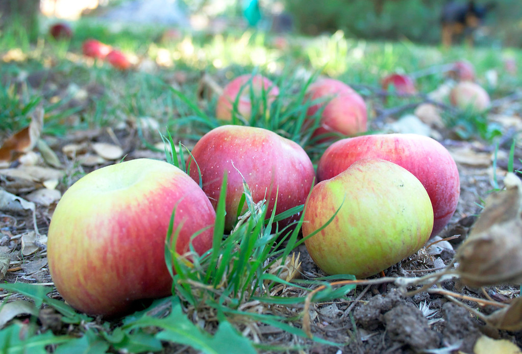 Week 42: getting close to the end of apple season as more and more end up on the ground. We used some this year, but I really need to learn to can so these don't go to waste (or the birds).