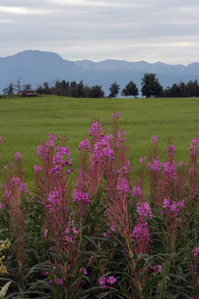 Fireweed in Palmer