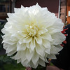 This one was a First Place winner at the Alaska Fair 2008.  :)  My neighbors (The Cutters) grew this one.  :)