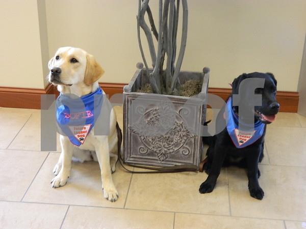 Lolly and Sophie are training to be help and service dogs.