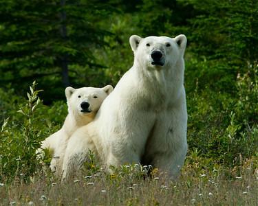 Polar Pair (Hudson Bay, Canada)