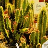 BT cactus sale