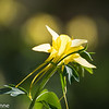 Yellow Columbine
