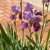 Full iris