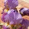 Iris - Closeup