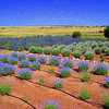 Lavender fields in Northern AZ