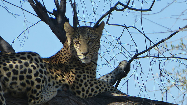 Sarah's favorite leopard pic from my safari (picture included in her casket)