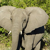 Sarah's favorite elephant pic from my safari (pic included in her casket)