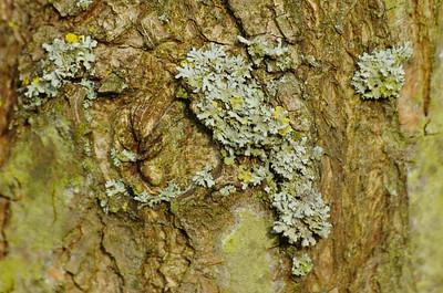 Lichenes