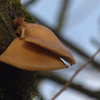 Pleurotus ostreatus | Gewone oesterzwam - Oyster mushroom