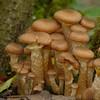 Armillaria lutea? - knolhoningzwam? honey mushroom
