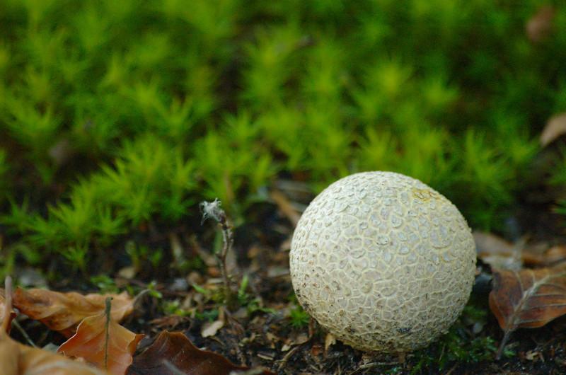 Scleroderma citrinum - gele aardappelbovist, common earthball