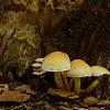 Hypholoma fasciculare - Gewoon zwavelkopje, Sulphur Tuft