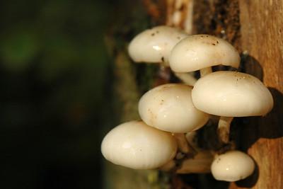 Tricholomataceae