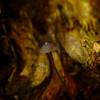 Mycena galopus var. nigra - Zwarte melksteelmycena, Black milking Bonnet