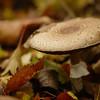 Agaricus praeclaresquamosus? - Parelhoenchampignon? Western Flat-top Agaricus?