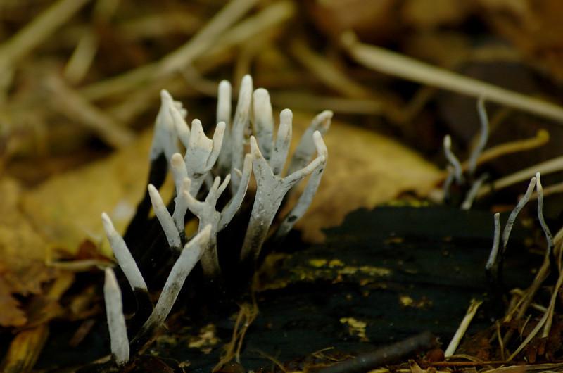 Xylaria hypoxylon - Geweizwam, Candlesnuff fungus