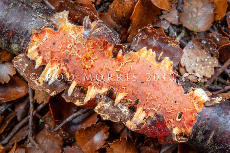DSC_2565 Reddish-orange crust (Australovuilleminia coccinea) endemic - the monotypic NZ genus was described in 2010. Recognised by its striking reddish-orange colour.  Found on the underside of fallen branches of silver beech (Lophozonia menziesii). Catlins River *