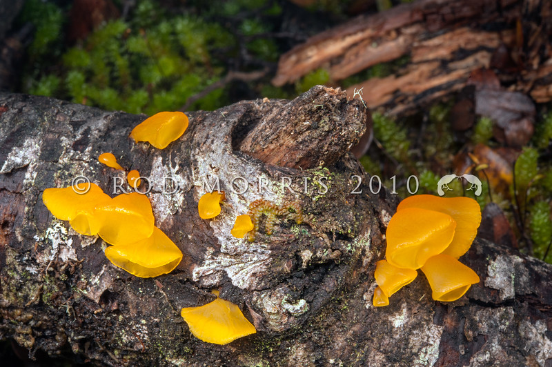 DSC_2085 Golden jelly bells (Heterotextus peziziformis) top-shaped, yellow jelly fungus that hangs like little bells from the wood. Grows from small and large dead branches and twigs. Bealey Spur *