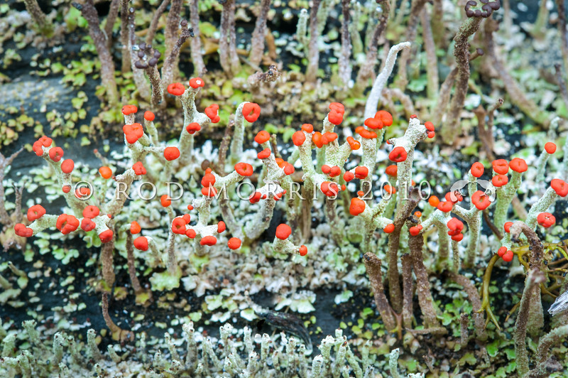 DSC_2245 Gritty British soldier, or devil's matchstick lichen (Cladonia floerkeana) a greyish match stick-like, scarlet red-capped lichen usually found on logs, tree stumps and along road side cuttings and on disturbed ground. Blackball *