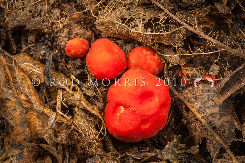 DSC_0383 Scarlet Berry truffles (Paurocotylis pila) tuber-like, often creased and wrinkled, orange-red to red. Brightly coloured and indistinguishable from podocarp fruits falling about the same time as these truffles form. This fungus has possibly evolved to be bird distributed. Catlins Forest *