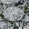 11009-00407 Crustose lichen (Neofuscelia adpicta) decorating a river boulder in the Mackenzie Country *