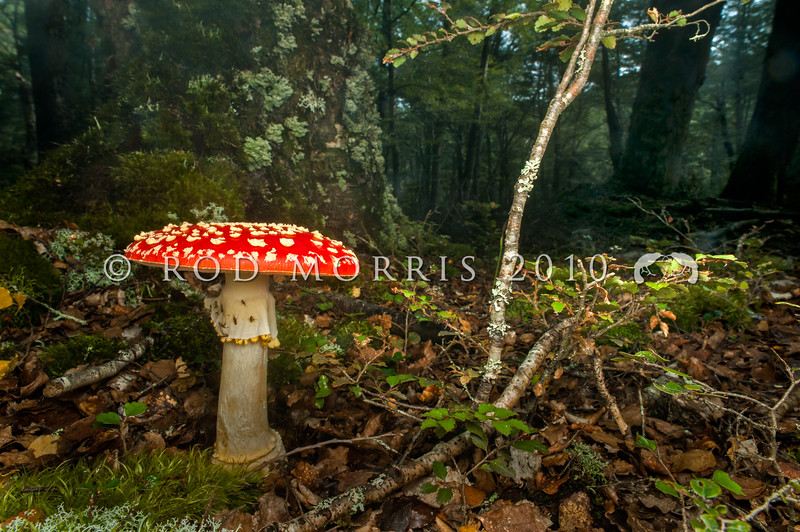 DSC_6050 Fly agaric (Amanita muscaria) poisonous. A northern hemisphere mycorrhizal fungus introduced into New Zealand and now invading our Southern beech forests, displacing native fungi and affecting the health and nutrition of host trees. Also common beneath exotic trees such as pines, oak, silver birch, and sweet chestnut. Waikaia Forest *