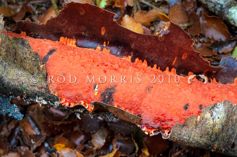 DSC_2568 Reddish-orange crust (Australovuilleminia coccinea) endemic - the monotypic NZ genus was described in 2010. Recognised by its striking reddish-orange colour.  Found on the underside of fallen branches of silver beech (Lophozonia menziesii). Catlins River *