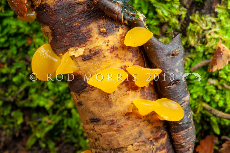 DSC_2550 Golden jelly bells (Heterotextus peziziformis) top-shaped, yellow jelly fungus that hangs like little bells from the wood. Grows from small and large dead branches and twigs. Catlins River *