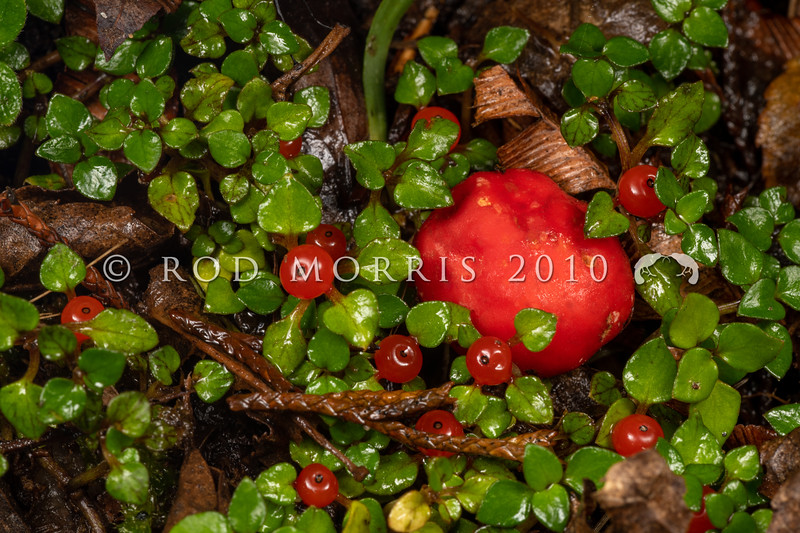 DSC_4815 Scarlet berry truffle (Paurocotylis pila) tuber-like, often creased and wrinkled, orange-red to red. Brightly coloured and indistinguishable from podocarp, and other red fruits (such as these Nertera depressa fruits), appearing about the same time as the truffles form. This fungus has possibly evolved to be bird distributed. Catlins Forest *