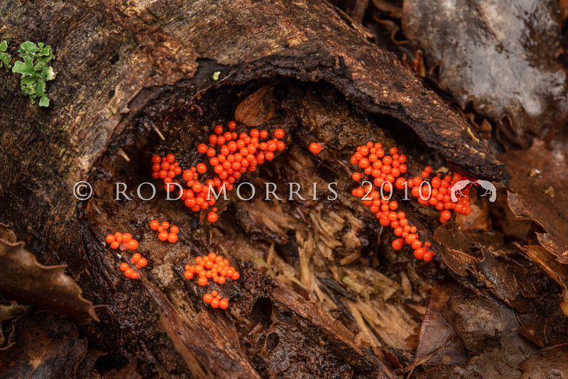 DSC_5650   'Salmon eggs' slime mould (Trichia decipiens) a not so common sight as these tiny bright orange-red sporangia change colour within only a few hours, passing from white, through orange-red, to a drab brown colour. This cosmopolitan species lives on the damp rotting trunks of trees in humid sites where it takes its nourishment from bacteria, yeasts, and organic particle. Waikaia Bush *