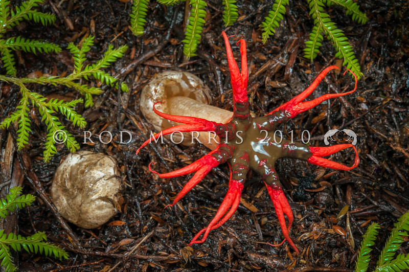 DSC_0700 Anemone stinkhorn, or puapua-a-autahi (Aseroe rubra) first appears above ground as a partly buried whitish egg-shaped structure (left). It bursts open (right) as a hollow white stalk with reddish arms that spread horizontally and are forked at the tips. Recognisable for its foul faecal odour, the smelly brown spore-carrying mucus at the base of the arms attracts blowflies, which disperse the spores. This fairly common Australian fungus (it was the first native Australian fungus to be formally described), is widely distributed in eastern Australia, and across the islands in the Pacific Ocean, including New Zealand. It is introduced in Britain and the USA. Flagstaff, Dunedin *