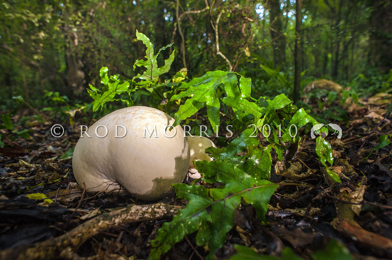 DSC_0564 Giant puffball or pukurau (Langermannia gigantea) usually found in open grassy areas, but occasionally in forests, and probably introduced. Typically the size and shape of a soccer ball, however the largest can grow to over 1 metre in diameter. When young and white inside, they are edible. Woodaugh, Dunedin *