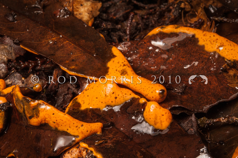 DSC_1970 'Orange' pretzel slime mold (Hemitrichia serpula) mature plasmodium in wet leaf litter. Moana *