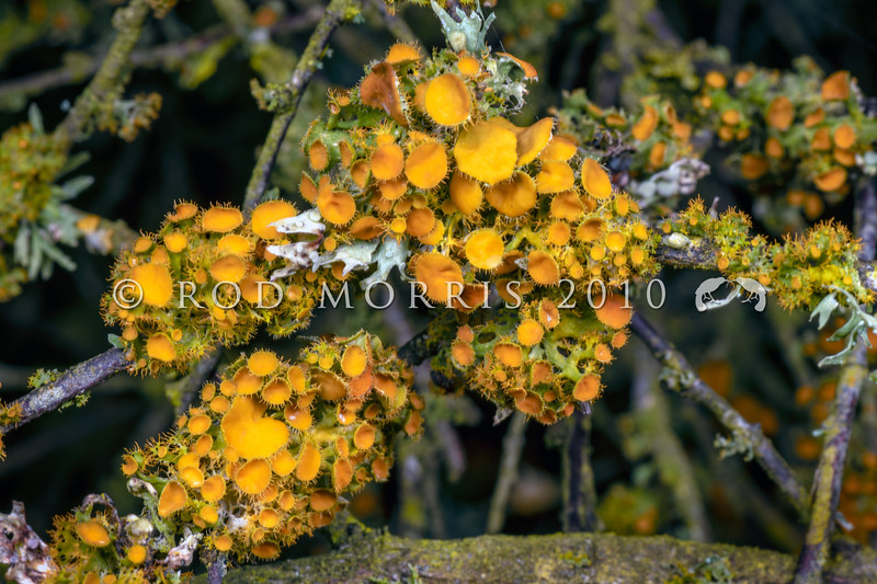 DSC_5051 Golden-eye lichen (Teloschistes chrysophthalmus) and grey Cartilage lichen (Ramalina celastri), growing on Saltmarsh ribbonwood (Plagianthus divaricatus). Saltwater Creek, Timaru *