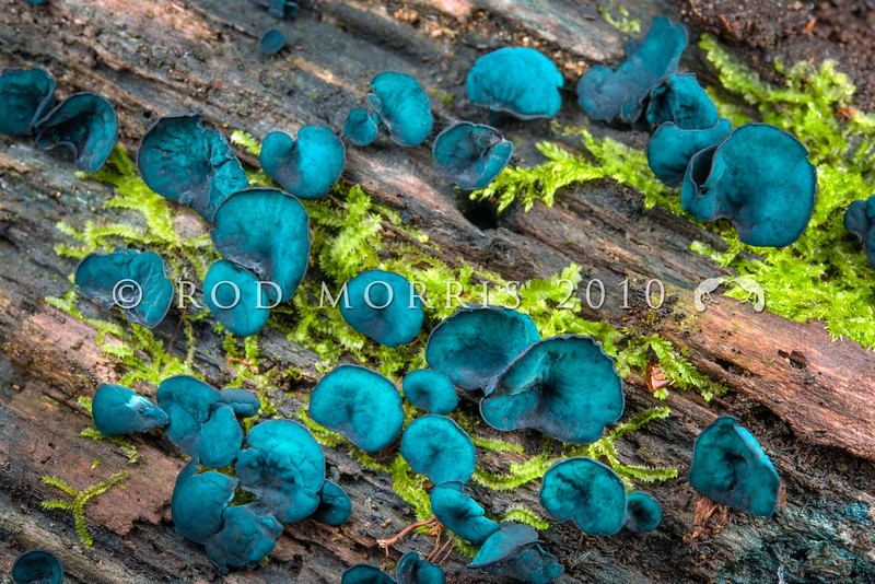 DSC_5591 Verdigris button (Chlorociboria aeruginosa) detail of fruiting bodies. Typically stains the wood it decays a distinctive blue-green colour, and in southern beech forests the wood is frequently encountered but not the fruiting bodies. Waikaia Bush *