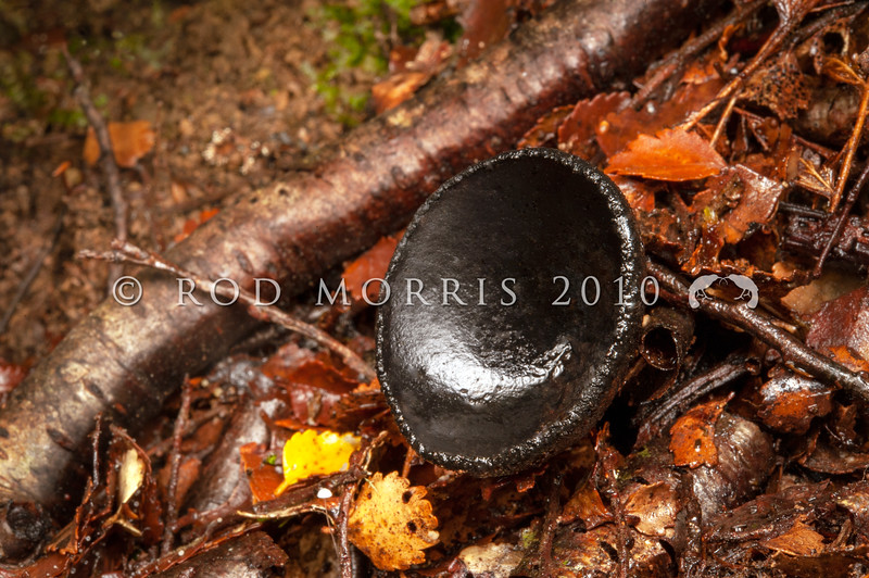 DSC_2612 Black cup fungus (Plectania campylospora) found on rotting wood in wet forests. Native to southeastern Australia and New Zealand,  though many species of Plectania are found in temperate areas of the Northern Hemisphere. Catlins River *