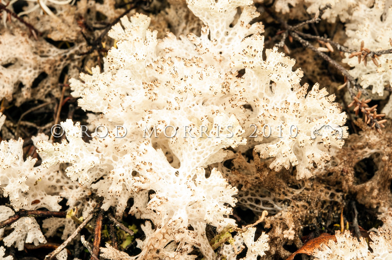 """DSC_ 6609 Coral lichen (Pulchrocladia retipora) a latticed fruticose lichen that grows on the ground and is native to Australia and New Zealand. When growing in large mats it can look like snow. Hence another common name """"Snow lichen"""". The network of holes in the branches are called fenestrations. The tiny brownish-red tips on the branches are the fungal component's fruiting bodies. Lewis Pass *"""
