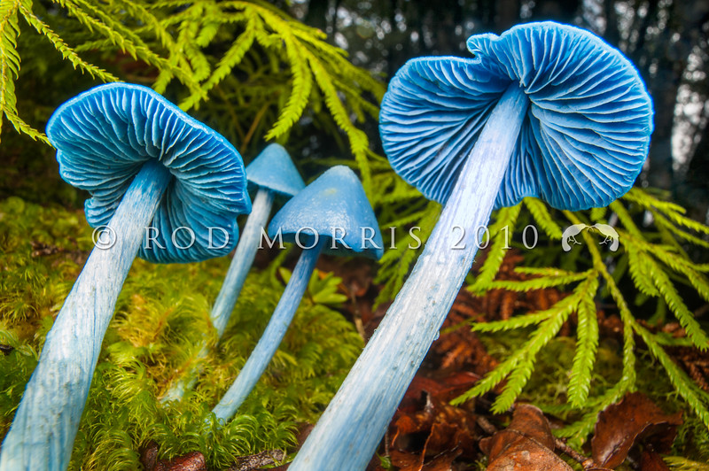 DSC_2018 Sky-blue toadstool (Entoloma hochstetteri) showing the distinctive blue gills. Found in lowland mixed broadleaf forest, particularly beneath podocarps or tree ferns. The Metabolomics lab at the University of Auckland has been researching the biological properties of the blue pigment in this fungi, which may one day be used as a natural blue food colouring. Lake Brunner *