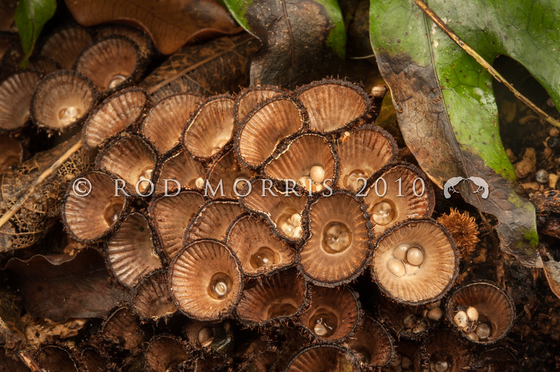 DSC_0408 Fluted bird's nest fungus (Cyathus striatus) flared cup, brownish-white, smooth and fluted on the inside. The outer surface is shaggy with brown hairs or scales. Cups containing light to dark grey, disc shaped spore masses (the 'eggs' or peridioles). This group of fungi have a specialised method of spore dispersal. A droplet of water falls into the cup and splashes the spore masses out onto the surrounding vegetation. Woodhaugh, Dunedin *
