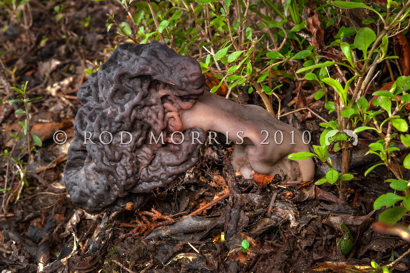 DSC_2930 Brain fungus, or False morel (Gyromitra esculenta) after World War 2 this fungus was responsible for most of the wild mushroom poisonings in Germany and Poland. Despite it's species name esculenta (meaning 'edible'), this fungus is very poisonous.  Leith Saddle