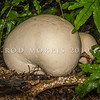 DSC_0555 Giant puffball or pukurau (Langermannia gigantea) usually found in open grassy areas, but occasionally in forests, and probably introduced. Typically the size and shape of a soccer ball, however the largest can grow to over 50 cm in diameter and weigh more than 18 kgs. When young and white inside, they are edible. Woodaugh, Dunedin *