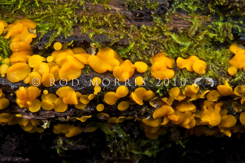 DSC_6579 Lemon-drop button (Bisporella citrina) a common fungus on the fallen logs and branches of hardwoods, and particularly on southern beech in NZ. This fungus probably has a worldwide distribution, being recorded throughout Europe, North America, as well as Australasia. Nina Valley, Lewis Pass *