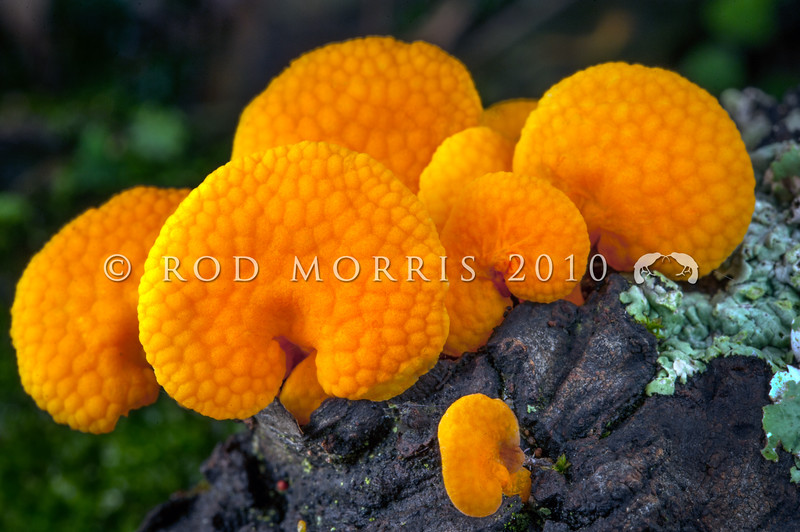 DSC_2381 Orange poreconch (Favolaschia calocera) highly visible on forest branches and logs. This introduced fungus was first reported in New Zealand in the 1960s and has since become a fungal 'weed' spreading throughout all forest types. It is thought to have arrived here from Madagascar. Otago Peninsula *