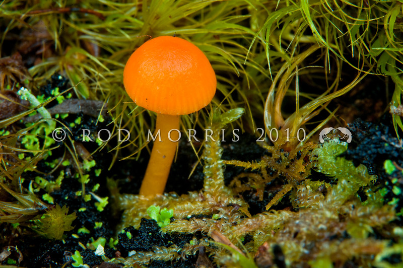 DSC_6516 Orange waxgill (Hygrocybe blanda) bright orange, among mosses on the ground beneath manuka and mixed forest, or at the base of tree ferns. Can be distinguished from other species by its small size and radially striate cap margin. April to June. Boyle River *
